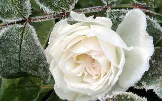 Как на зиму укрыть розы в огороде