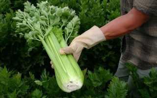 Как вырастить черешковый сельдерей на даче