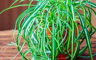 Выращивание хлорофитума: правила