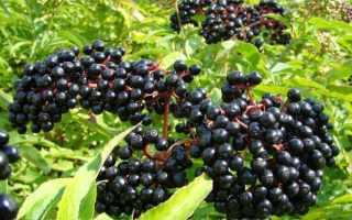 Бузина черная и красная: выращивание в открытом грунте и уход