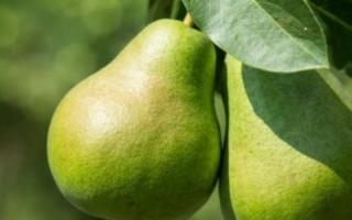 Августовская Роса — описание сорта груши, отзывы