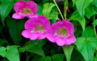 Азарина: фото, условия выращивания, уход и размножение