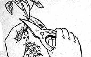 Как прививают розы, советы, рисунки