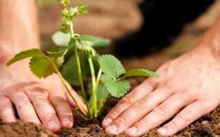 Как сажать клубнику – 105 фото способов как правильно выращивать клубнику
