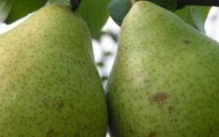 Как выращивать грушу сорта Белорусская поздняя
