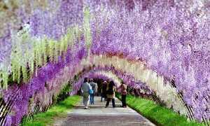 Глициния китайская: посадка и уход, фото цветка, а также саженцы осенью
