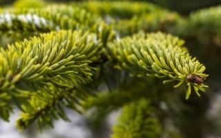 Виды декоратиных елок: названия и фото популярных сортов