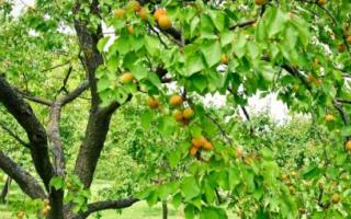 Как выполнить формировку кроны дерева абрикоса