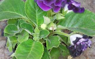 Изучаем болезни листьев глоксинии и способы лечения