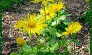 Дороникум: посадка и уход в открытом грунте, выращивание из семян