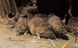 Как бороться с крысами в курятнике: лучшие средства для избавления от вредителей