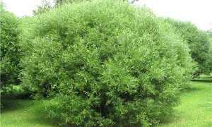 Ива шаровидная посадка и уход за разновидностями карлик, булата, ломакая и другими: описание, как быстро растет, формирование кроны