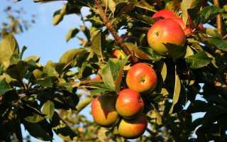 Как правильно посадить яблоню: подготовка участка осенью и летом, правила ухода