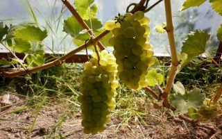 Виноград Бианка: описание сорта, фото, происхождение, посадка и уход