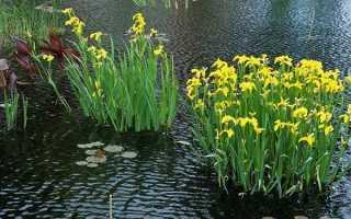 Ирис болотный желтый посадка и уход в открытом грунте