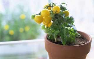 Как вырастить помидоры черри на подоконнике зимой. Помидоры Черри — выращивание в домашних условиях на подоконнике