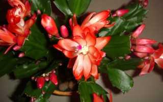 Из-за чего может не цвести декабрист при выращивании дома: болезни, вредители
