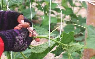 Как подвязать огурцы в открытом грунте: 95 фото основны способов как подвязать огурцы