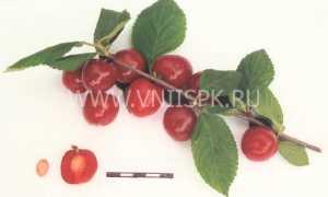 Вишня войлочная 'Красная' — описание сорта, характеристики