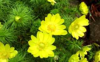 Адонис — яркие солнышки в саду. Уход, выращивание, размножение. Фото