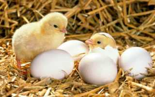 Как правильно выращивать цыплят в инкубаторе бытовом?