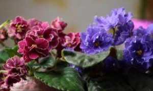 Домашняя фиалка: уход в домашних условиях, фото, полив, размножение, посадка на подоконнике