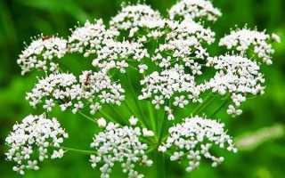 Выращивание аниса из семян – как и где растет, как сажать, видео