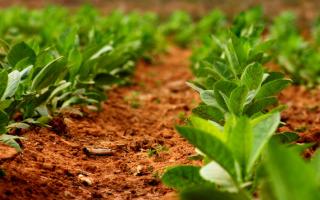 Как вырастить табак из семян в домашних условиях на рассаду