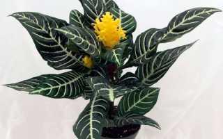 Афеландра оттопыренная: комнатное растение из Дании Скуарроса