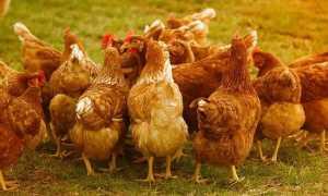 Как разводить куриный помёт как удобрение
