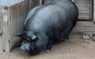 Как вырастить вьетнамских свиней в домашних условиях