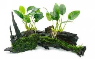 Аквариумное растение анубиас: содержание, размножение, фото