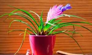 Бромелия уход в домашних условиях Размножение бромелии и пересадка Фото и видео