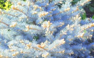 Ель Глаука (колючая голубая picea pungens Glauca): фото и описание, посадка и уход
