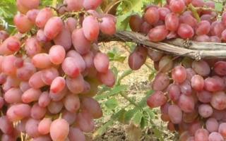 Виноград Юлиан: описание сорта, селекция, как выращивать самостоятельно