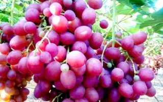 Виноград сорта Ливия: описание и характеристика, срок созревания, размножение и выращивание