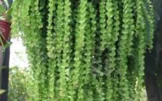 Дисхидия гребешковая: фото, условия выращивания, уход и размножение