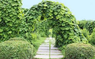 Вьющиеся растения для беседки многолетние названия + фото