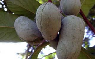 Азимина — выращивание и уход, в том числе в открытом грунте, а также правила посадки и обрезки растения