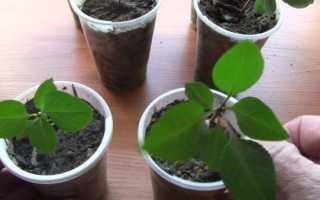 Как вырастить грушу из косточки в домашних условиях с плодами: инструкция для начинающих