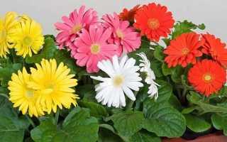 Гербера: выращивание из семян в домашних условиях, уход, фото
