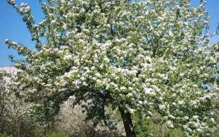 Высокоурожайный сорт груши Велеса: советы по выращиванию