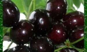 Гибрид вишни и черешни – описание сорта, выращивание дюка, посадка и уход