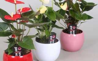 Антуриум Шерцера: фото, уход за комнатным растением в домашних условиях, сорта, подбор почвы