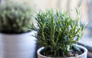 Выращивание розмарина дома – подробная инструкция