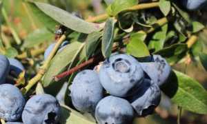 Голубика Блюкроп: описание сорта с характеристикой и отзывами, особенности посадки и выращивания, фото