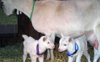 Зааненская порода коз ??: описание и характеристики, особенности содержания, фото и видео