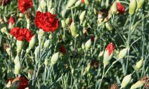 Гвоздика Шабо – посадка и уход в открытом грунте. Выращивание гвоздики Шабо из семян. Описание, виды с фото