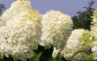 Гортензия метельчатая «Фантом»: описание сорта, посадка и уход, отзывы садоводов 2020+фото