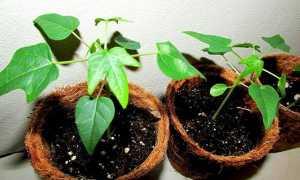 Как вырастить из косточки папайю